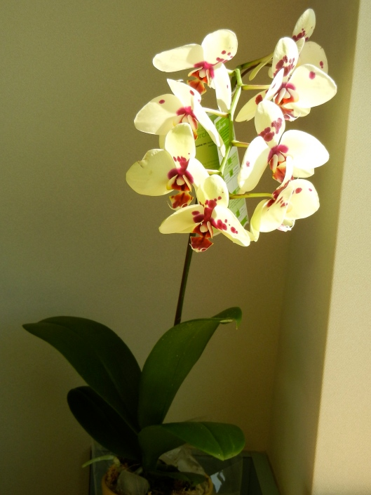 An Orchid for Mom