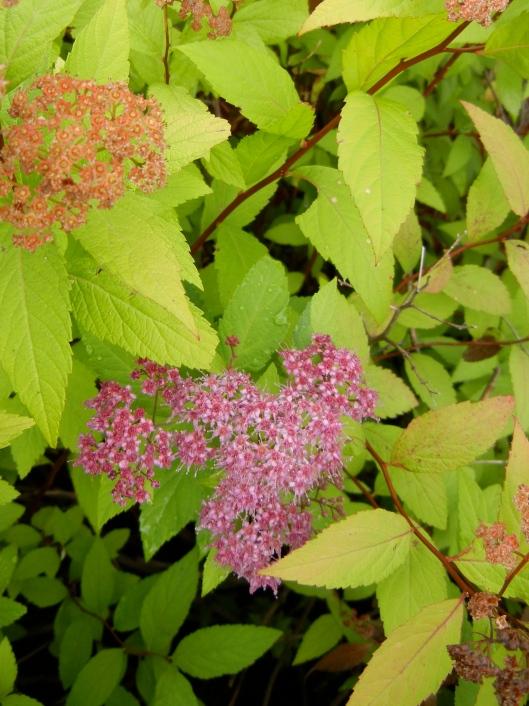Spiraea to Lure in Butterflies & Hummingbirds