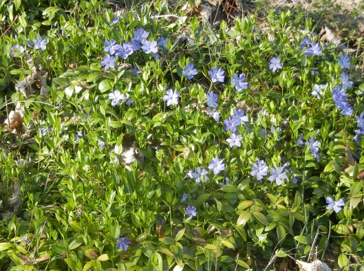 Plethora of Periwinkle