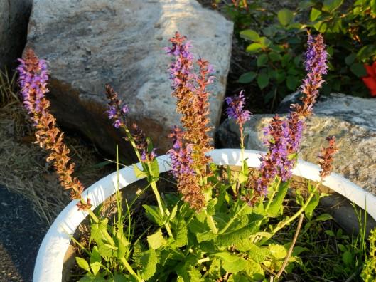 Stunning Salvia